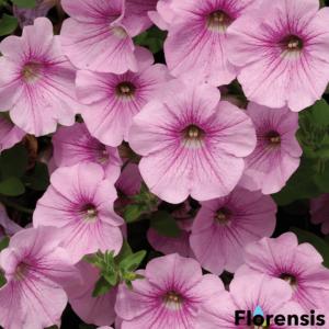Petunia 'Surfinia® Sweet Pink' – Petúnia