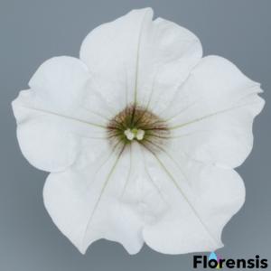 Petunia 'Surfinia® White' – Petúnia