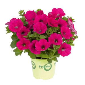 Petunia 'Sweetunia® Hot Pink' – Petúnia