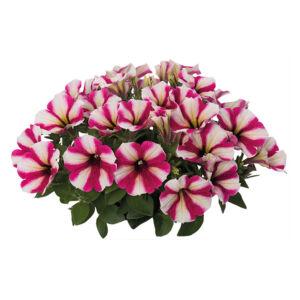 Petunia 'Sweetunia® Hot Pink Touch' – Petúnia