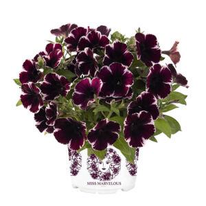 Petunia 'Sweetunia® Miss Marvelous' – Petúnia