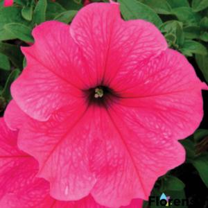 Petunia 'Viva® Hot Pink' – Petúnia