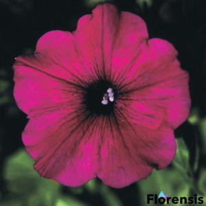 Petunia 'Viva® Purple' – Petúnia