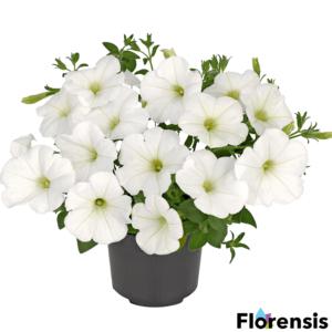 Petunia 'Viva® White' – Petúnia