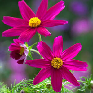 Cosmos bipinnatus 'Sonata® Carmine' – Kerti pillangóvirág