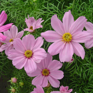 Cosmos bipinnatus 'Sonata® Pink Blush' – Kerti pillangóvirág