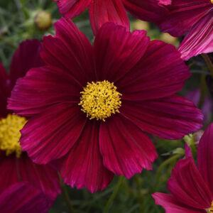 Cosmos bipinnatus 'Sonata® Purple' – Kerti pillangóvirág
