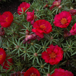 Portulaca grandiflora 'Happy Hour® Deep Red' – Porcsinrózsa (kukacvirág)