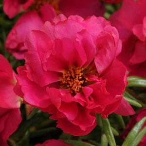Portulaca grandiflora 'Happy Hour® Fuchsia' – Porcsinrózsa (kukacvirág)