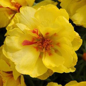 Portulaca grandiflora 'Happy Hour® Lemon' – Porcsinrózsa (kukacvirág)