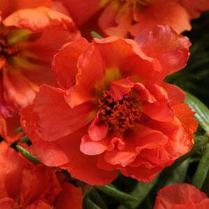 Portulaca grandiflora 'Happy Hour® Orange' – Porcsinrózsa (kukacvirág)