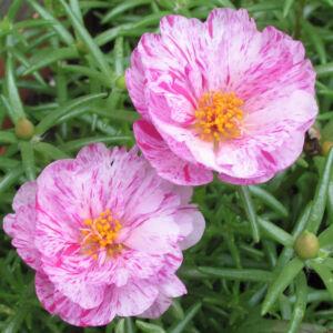 Portulaca grandiflora 'Happy Hour® Peppermint' – Porcsinrózsa (kukacvirág)