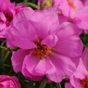Portulaca grandiflora 'Happy Hour® Rosita' – Porcsinrózsa (kukacvirág)