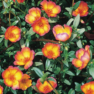 Portulaca oleracea 'Duet® Red on Yellow' – Porcsinrózsa (kukacvirág)