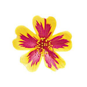 Portulaca oleracea 'Duet® Rose Improved' – Porcsinrózsa (kukacvirág)