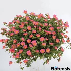 Portulaca oleracea 'Pazzaz® Pink Glow' – Porcsinrózsa (kukacvirág)