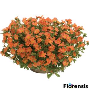 Portulaca oleracea 'Pazzaz® Tangerine' – Porcsinrózsa (kukacvirág)