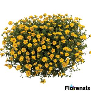 Portulaca oleracea 'Pazzaz® Vivid Yellow' – Porcsinrózsa (kukacvirág)