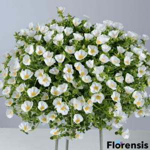 Portulaca oleracea 'Pazzaz® White' – Porcsinrózsa (kukacvirág)