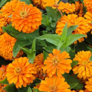 Zinnia elegans 'Magellan® Orange' – Pompás rézvirág