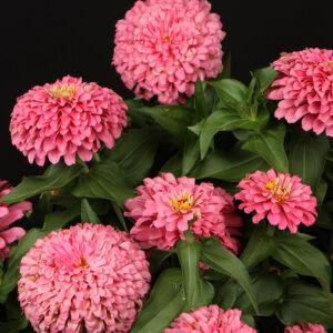 Zinnia elegans 'Magellan® Pink Shades' – Pompás rézvirág