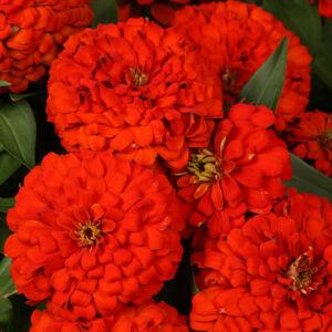 Zinnia elegans 'Magellan® Scarlet' – Pompás rézvirág