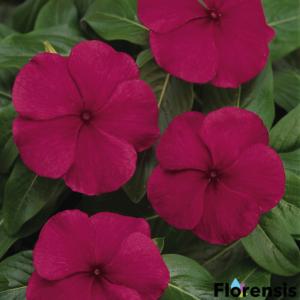 Catharanthus roseus 'Titan® Burgundy' – Rózsameténg