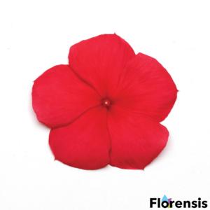 Catharanthus roseus 'Titan® Dark Red' – Rózsameténg