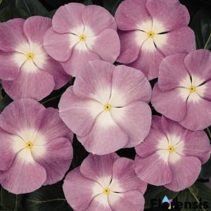 Catharanthus roseus 'Titan® Lavender Halo' – Rózsameténg