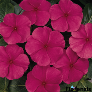 Catharanthus roseus 'Titan® Punch' – Rózsameténg