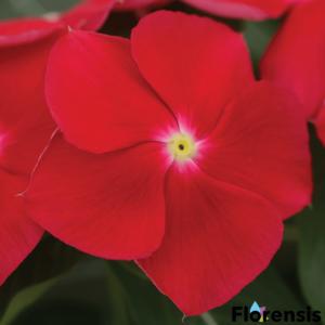 Catharanthus roseus 'Titan® Really Red' – Rózsameténg