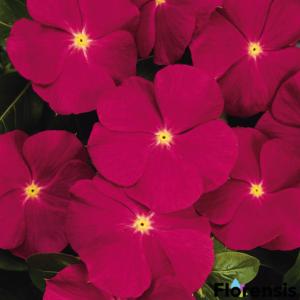 Catharanthus roseus 'Titan® Rose' – Rózsameténg