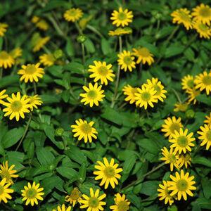 Sanvitalia procumbens 'Sunvy® Top Gold' – Heverő tömpevirág