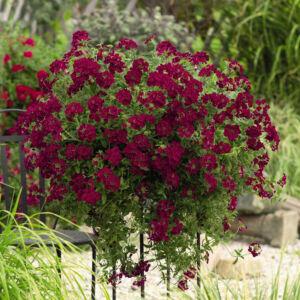 Verbena x hybrida 'Empress Flair® Burgundy' – Vasfű