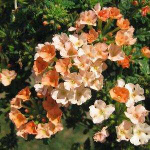 Verbena x hybrida 'Empress Flair® Peach' – Vasfű
