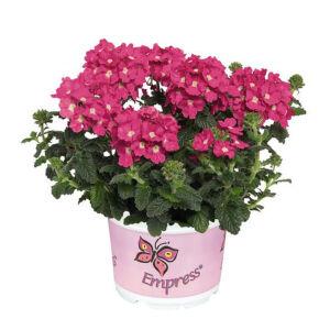 Verbena x hybrida 'Empress Flair® Pink Charme' – Vasfű