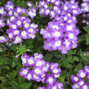 Verbena x hybrida 'Empress Flair® Purple Charme' – Vasfű