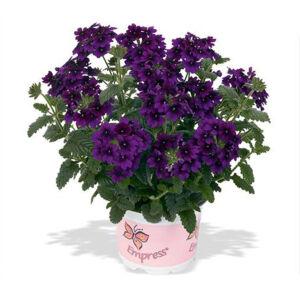 Verbena x hybrida 'Empress Flair® Violet Blue' – Vasfű
