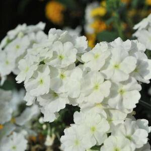 Verbena x hybrida 'Empress Flair® White' – Vasfű