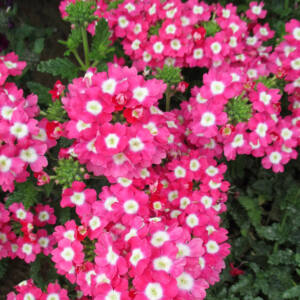 Verbena x hybrida 'Empress® Strawberry Charme' – Vasfű