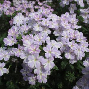 Verbena x hybrida 'Vodoo Star® Lavender' – Vasfű