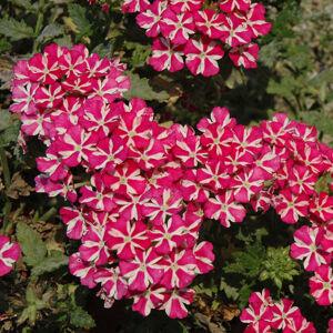 Verbena x hybrida 'Vodoo Star® Pink' – Vasfű