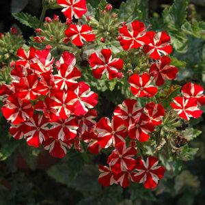 Verbena x hybrida 'Vodoo Star® Red' – Vasfű
