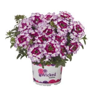 Verbena x hybrida 'Wicked® Beauty Burgundy' – Vasfű