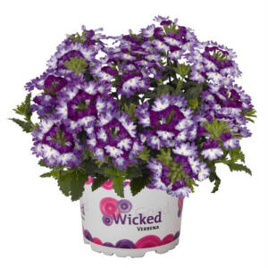 Verbena x hybrida 'Wicked® Great Grape' – Vasfű