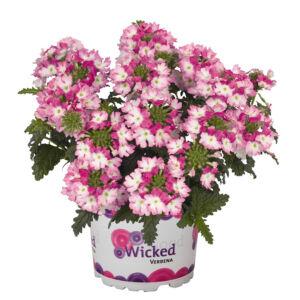 Verbena x hybrida 'Wicked® Hot Pink' – Vasfű