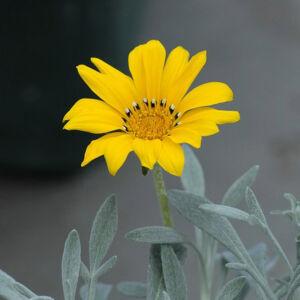 Gazania 'Beda Yellow' – Záporvirág (ámpolna)