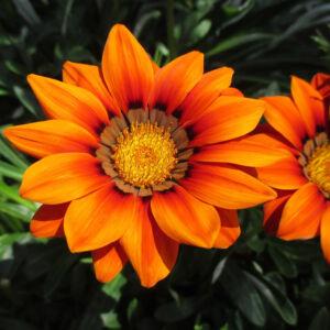 Gazania rigens 'Daybreak XP® Clear Orange' – Záporvirág
