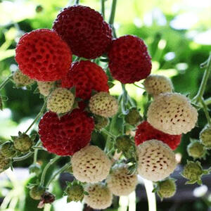 'Framberry' málnaízű-eper palánta