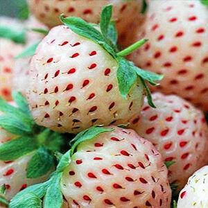 'Pineberry' ananászízű-eper palánta